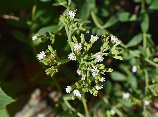 květy stévie