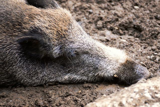 spící divočák